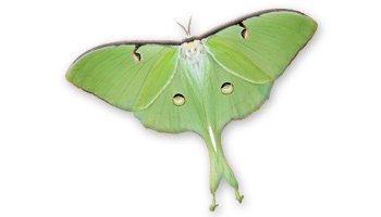 Luna moth scientific illustration - photo#27